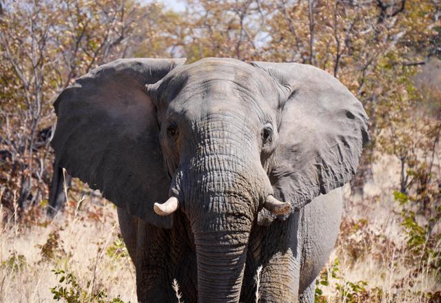 Afrika Elefanten