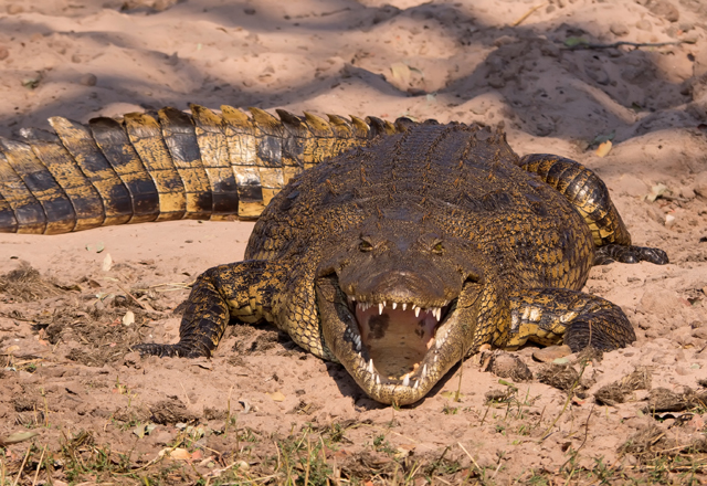 Krokodiel Zähne Nahaufnamhe
