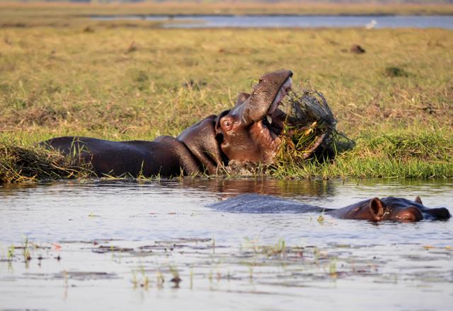 Nilpferd Sumpf in namibia