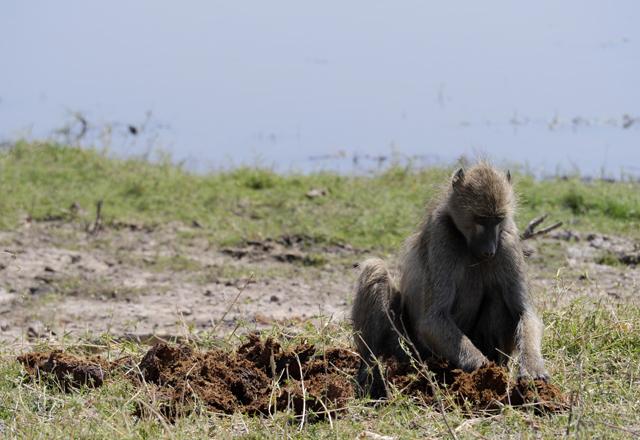 Schimpanse Südafrika